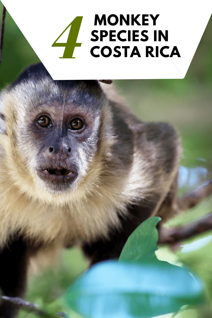 Costa Rica Wildlife - 4 Types of Monkeys Living in Costa Rica