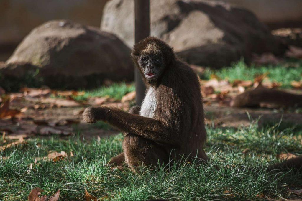 Costa Rica Wildlife: Spider Monkey