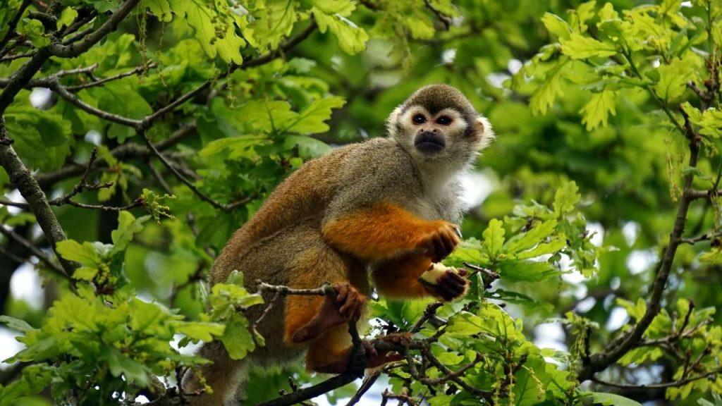Costa Rica Wildlife: Squirrel Monkey