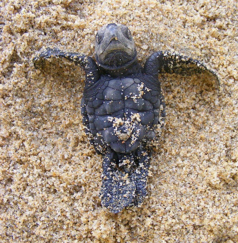 Costa Rica Wildlife - 4 Endangered Sea Turtle Species - Olive Rydley
