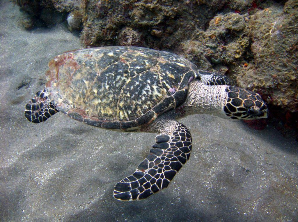 Costa Rica Wildlife - 4 Endangered Sea Turtle Species - Hawksbill