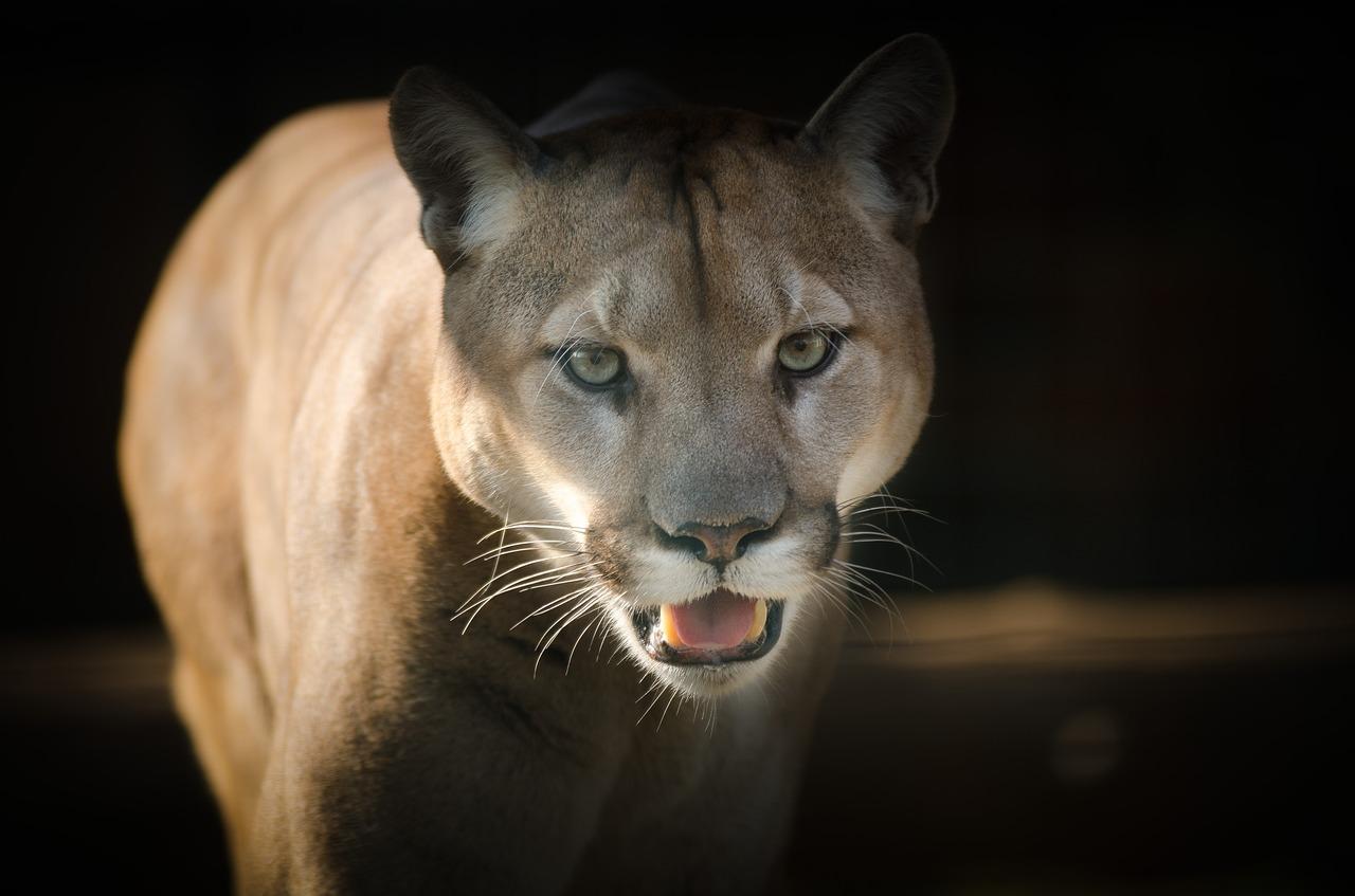 Wildcat Species of Costa Rica - Cougar