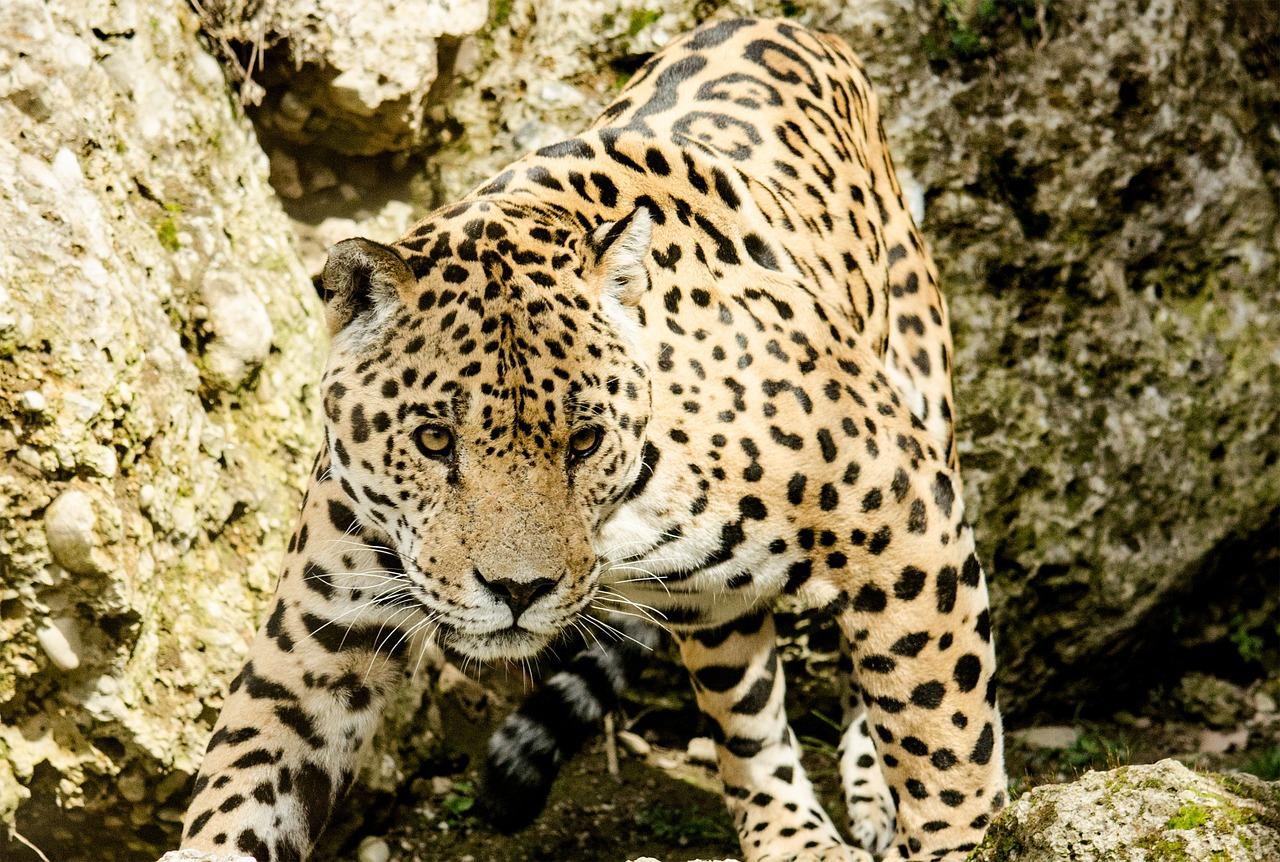 Wildcat Species of Costa Rica - Jaguar