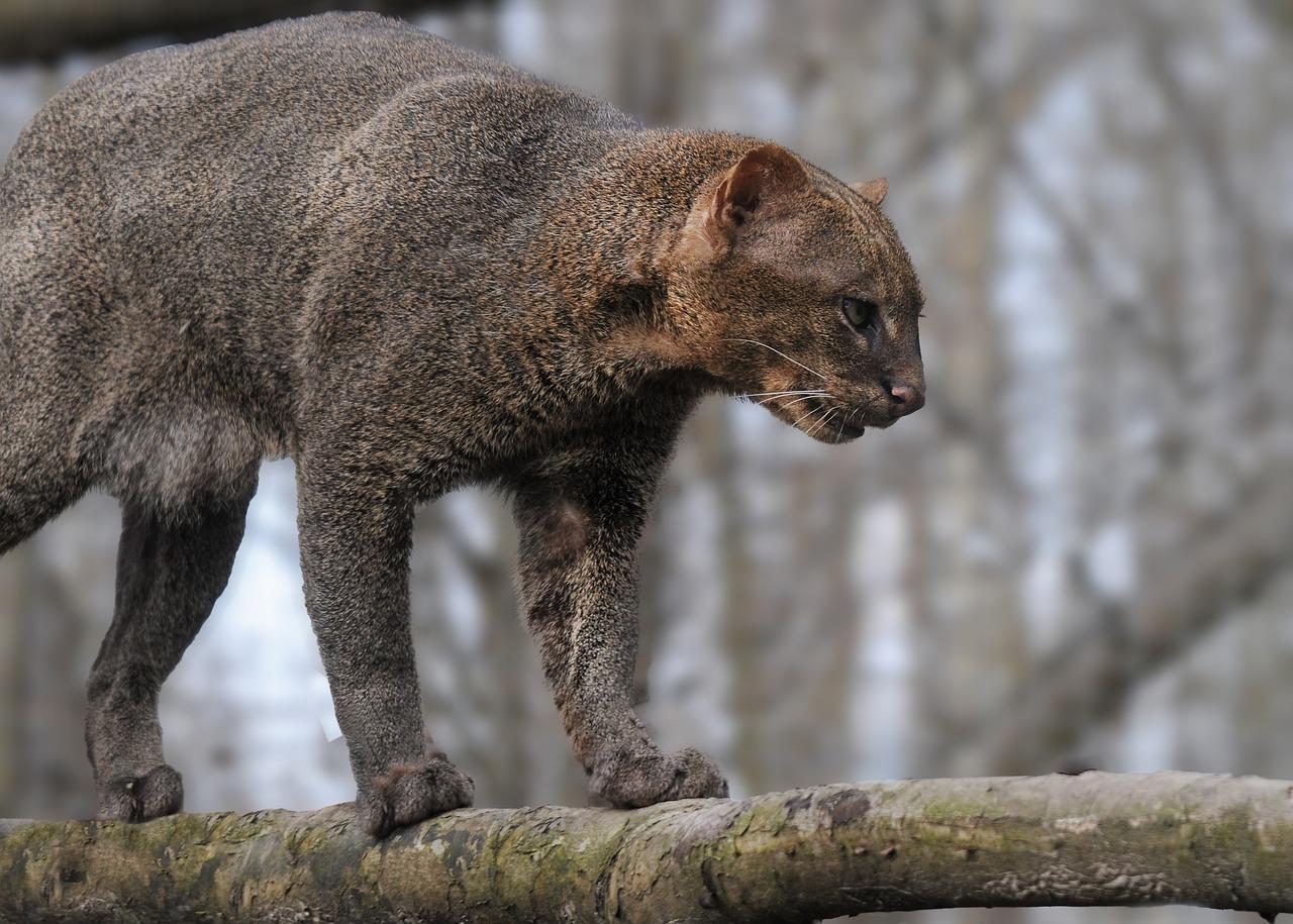 Wildcat Species of Costa Rica - Jaguarundi