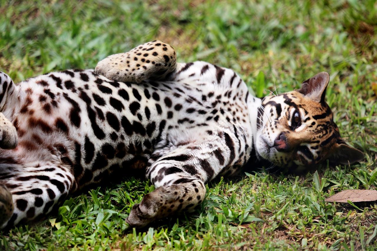 Wildcat Species of Costa Rica - Ocelot