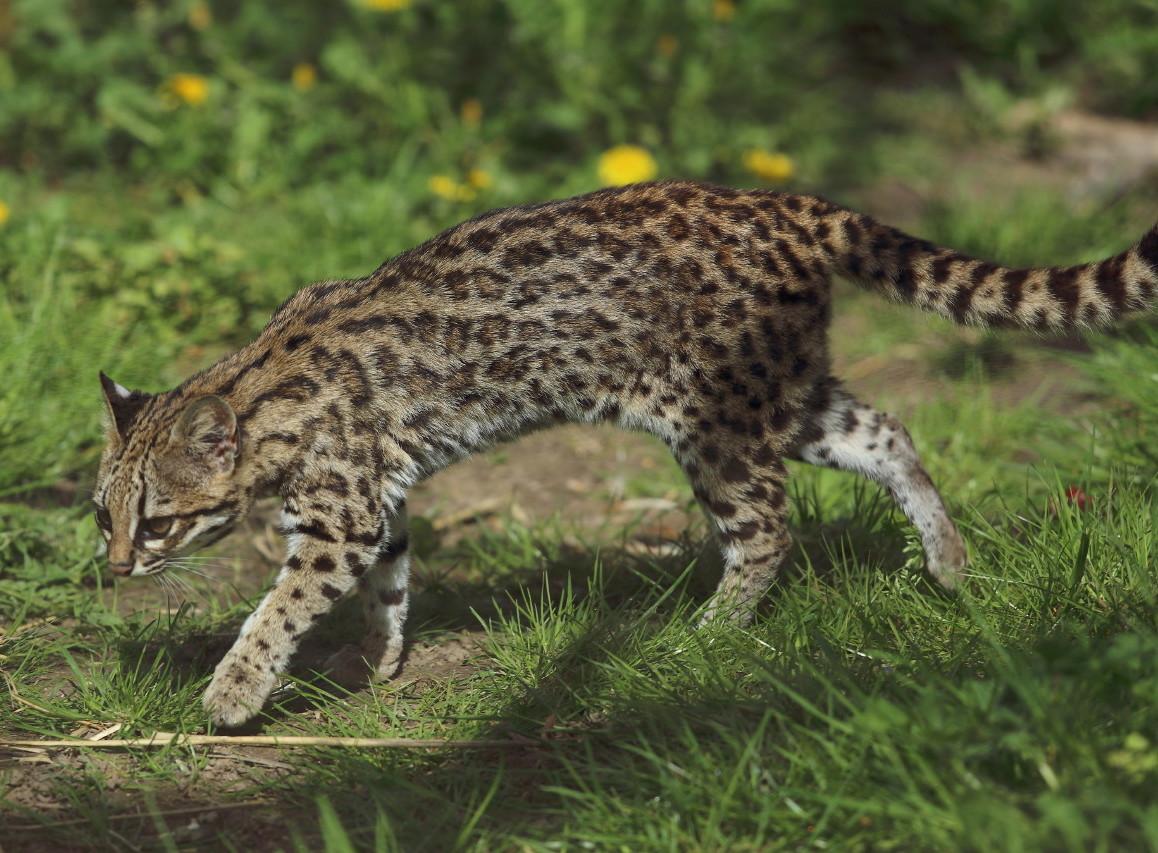 Wildcat Species of Costa Rica - Oncilla