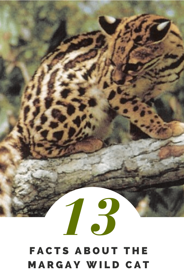 Costa Rica Wildlife - 13 Facts About the Margay Wild Cat