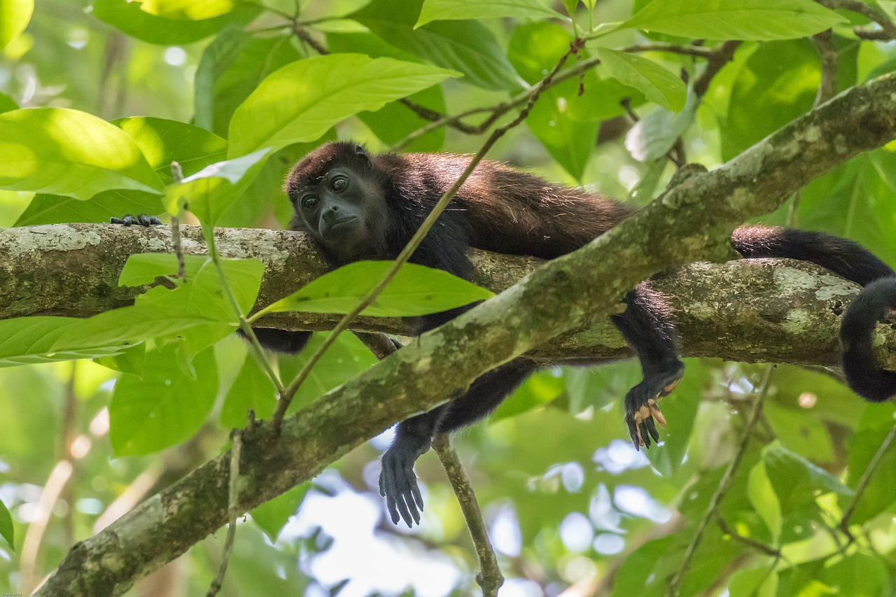 Costa Rica Wildlife - 13 Facts About Howler Monkeys