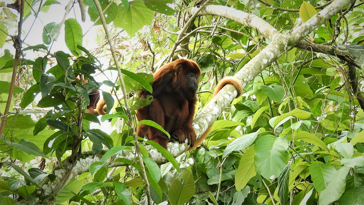 Costa Rica Wildlife - 15 Facts About Howler Monkeys