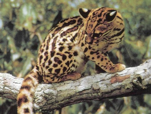 Costa Rica Wildlife - 10 Facts About the Margay Wild Cat