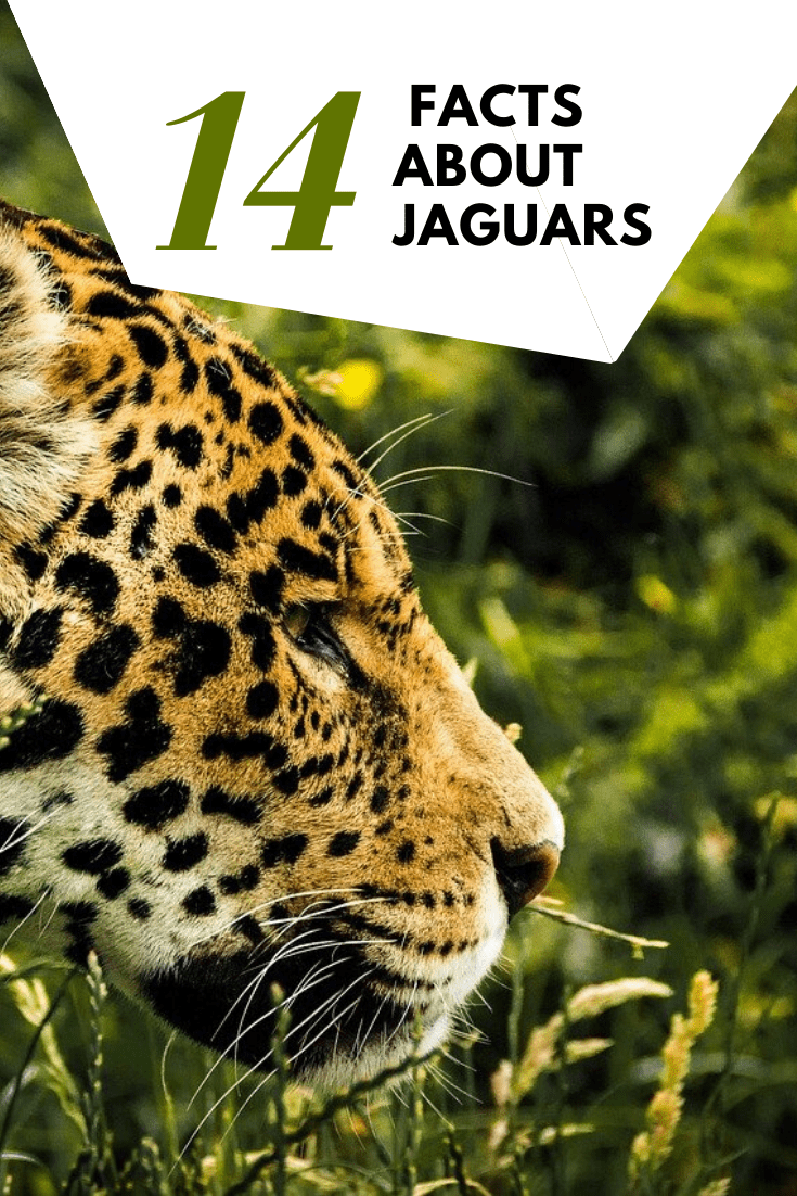 Top 14 Interesting Facts About Jaguars