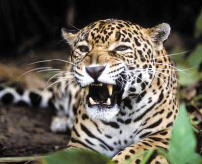 jaguars animals of costa rica