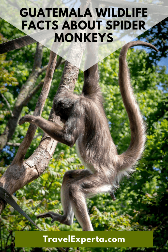 10 Facts About Spider Monkeys - Guatemala Wildlife