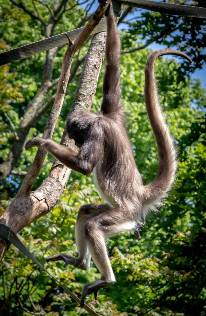 10 facts about spider monkeys