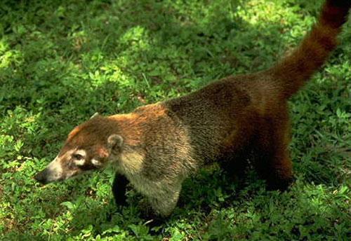 coatis, animals of costa rica