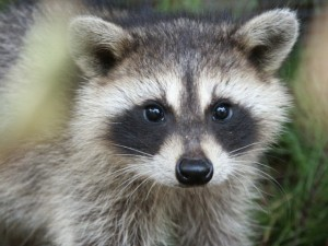 raccoon2