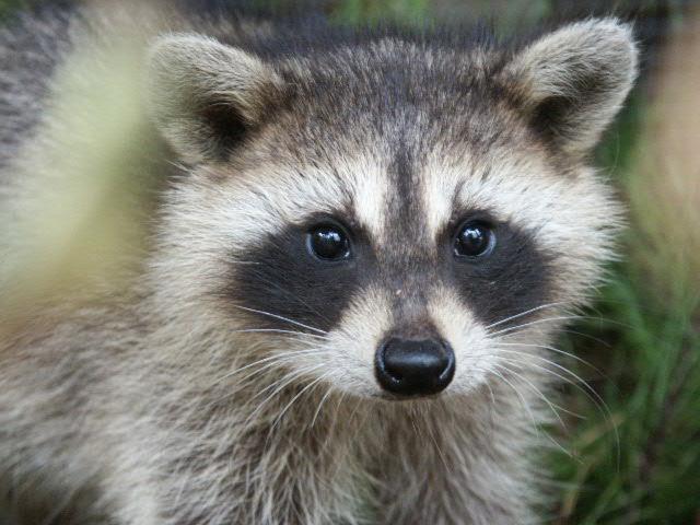 raccoons in costa rica