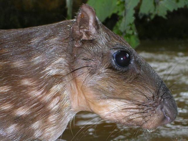 agoutis a animal from costa rica