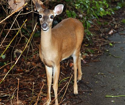 deer a costa rica animal