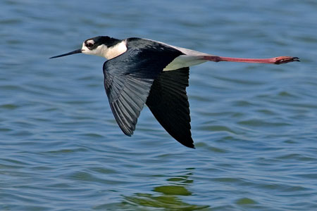 Guatemala wildllife - Black necked stilt