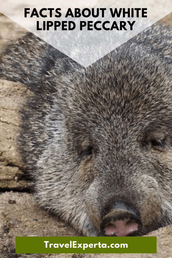 13 Thrilling Facts About White Lipped Peccary