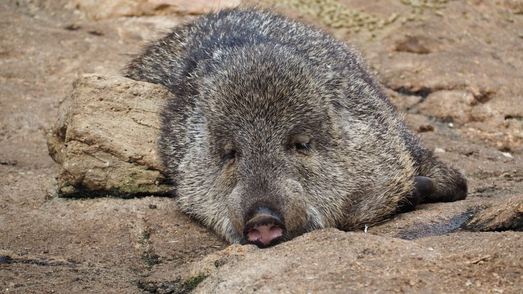 Wildlife Guatemala - 8 Thrilling Facts About White Lipped Peccary