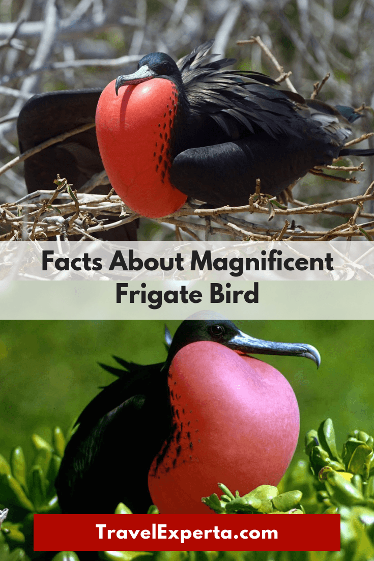 Costa Rica Wildlife - Facts About Magnificent Frigate Bird