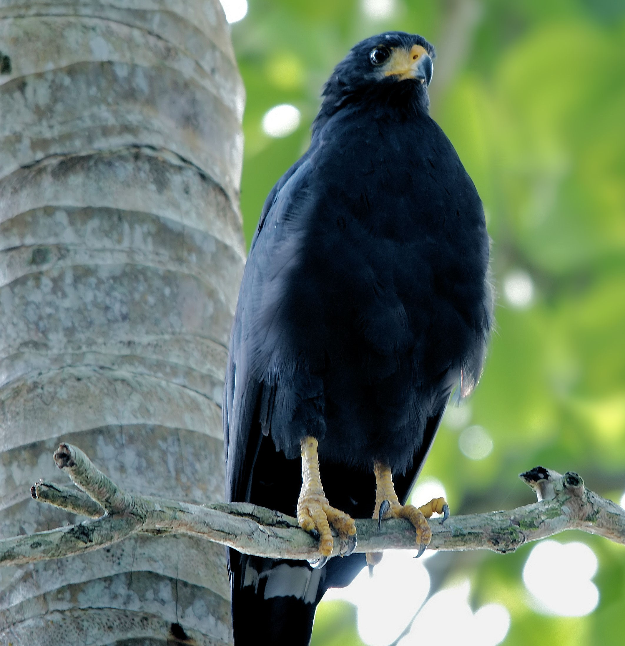 Facts About the Common Black Hawk