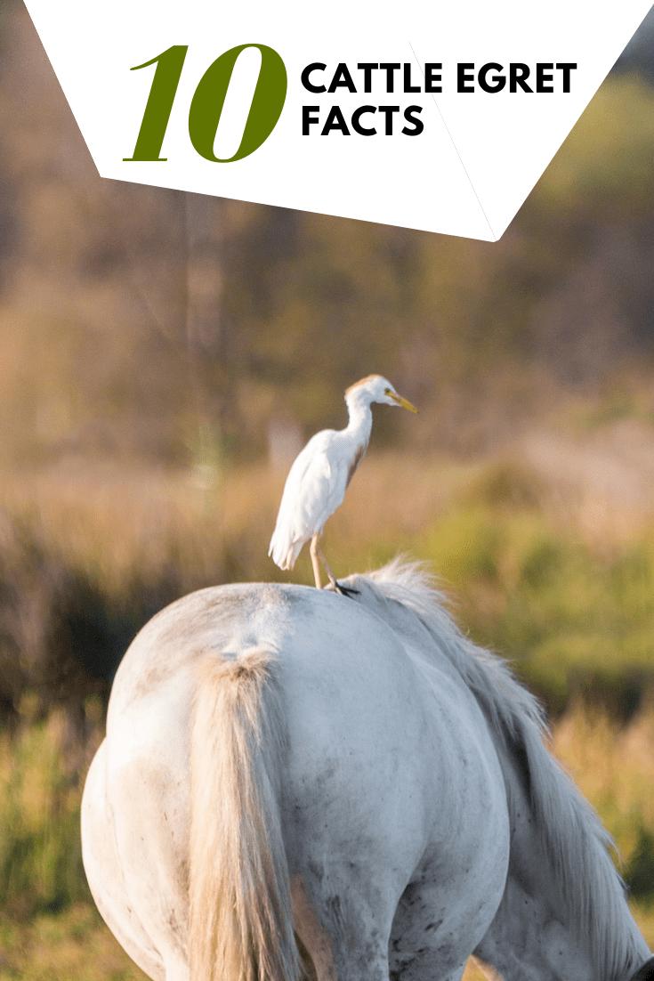 10 Cattle Egret Facts - Costa Rica Wildlife