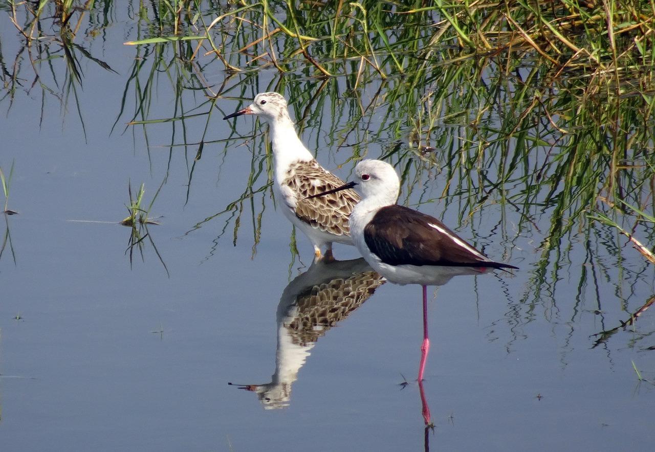 13 Black Necked Stilt Facts – Guatemala Wildlife