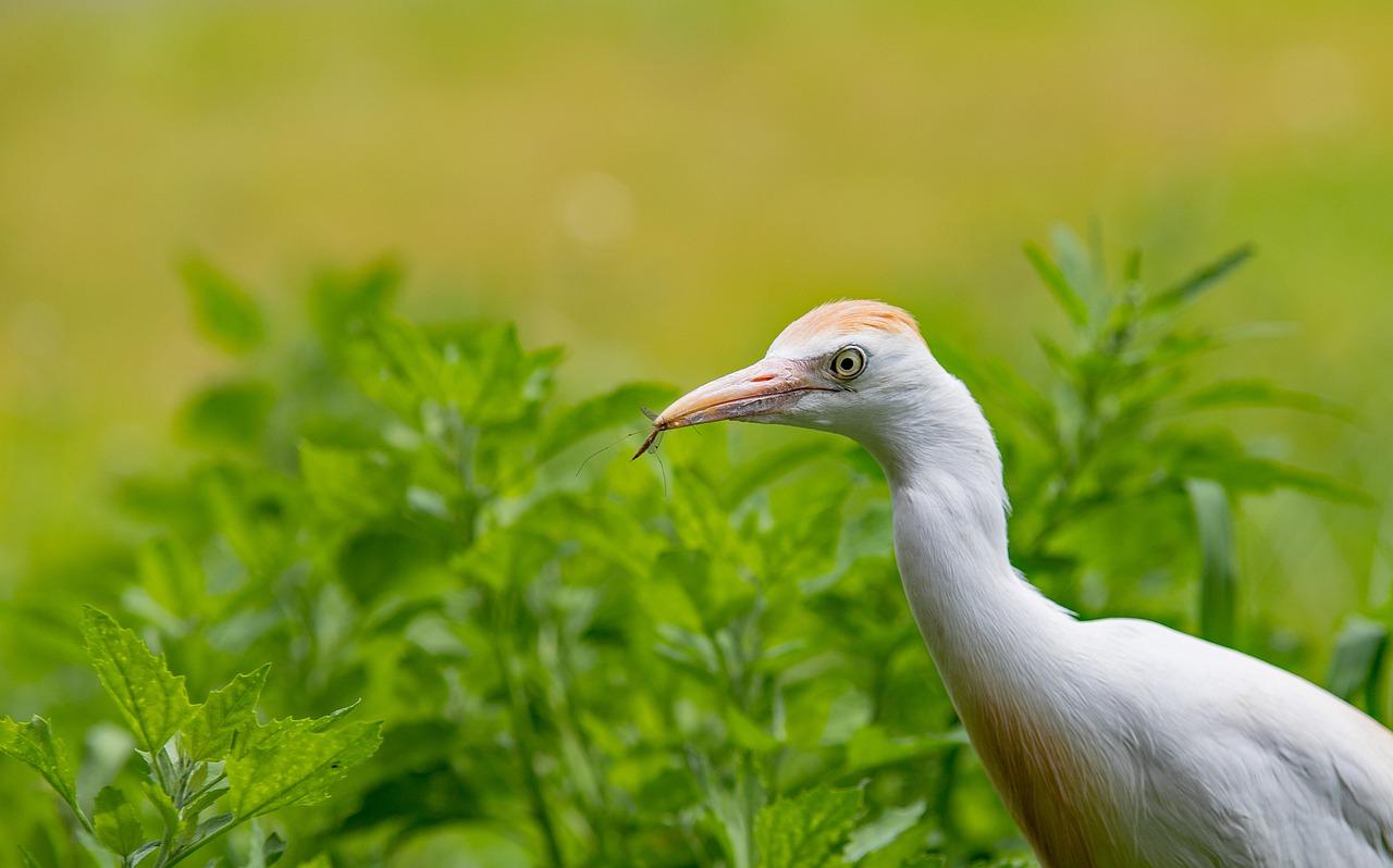 10 Cattle Egret Facts – Costa Rica Wildlife