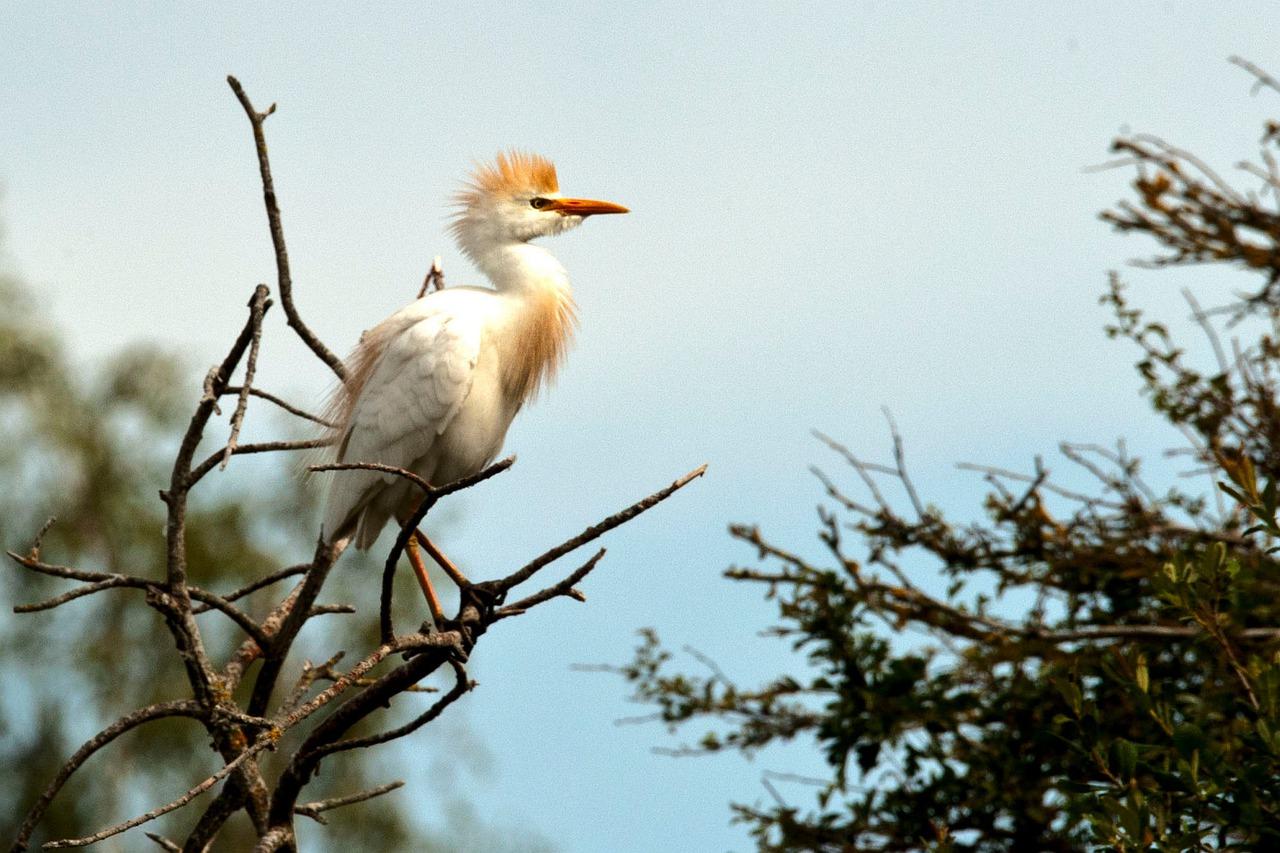 cattle egret facts