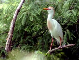 wildlife-costa-rica-cattle-egret