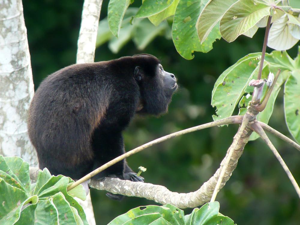 howler animals in costa rica
