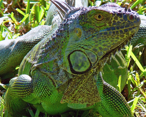 iguana from costa rica wildlife