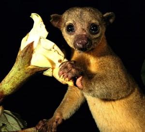 wildlife-costa-rica-kinkajou