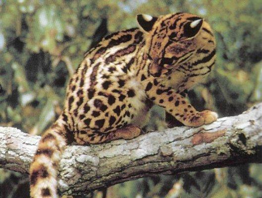 margay wildcat from costa rica animals