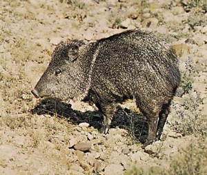 wildlife-costa-rica-collared-peccari