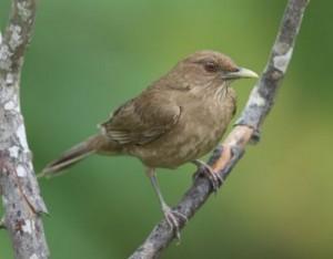 wildlife-costa-rica-clay-colored-robin