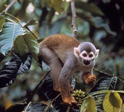wildlife-costa-rica-squirel-monkey