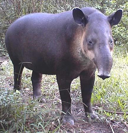 baird tapir costa rica animal