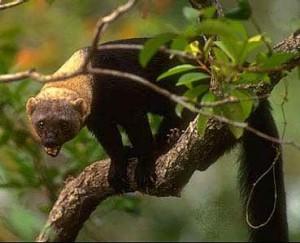 wildlife-costa-rica-tayra