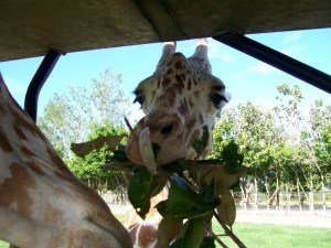 costa-rica-travel-giraffe