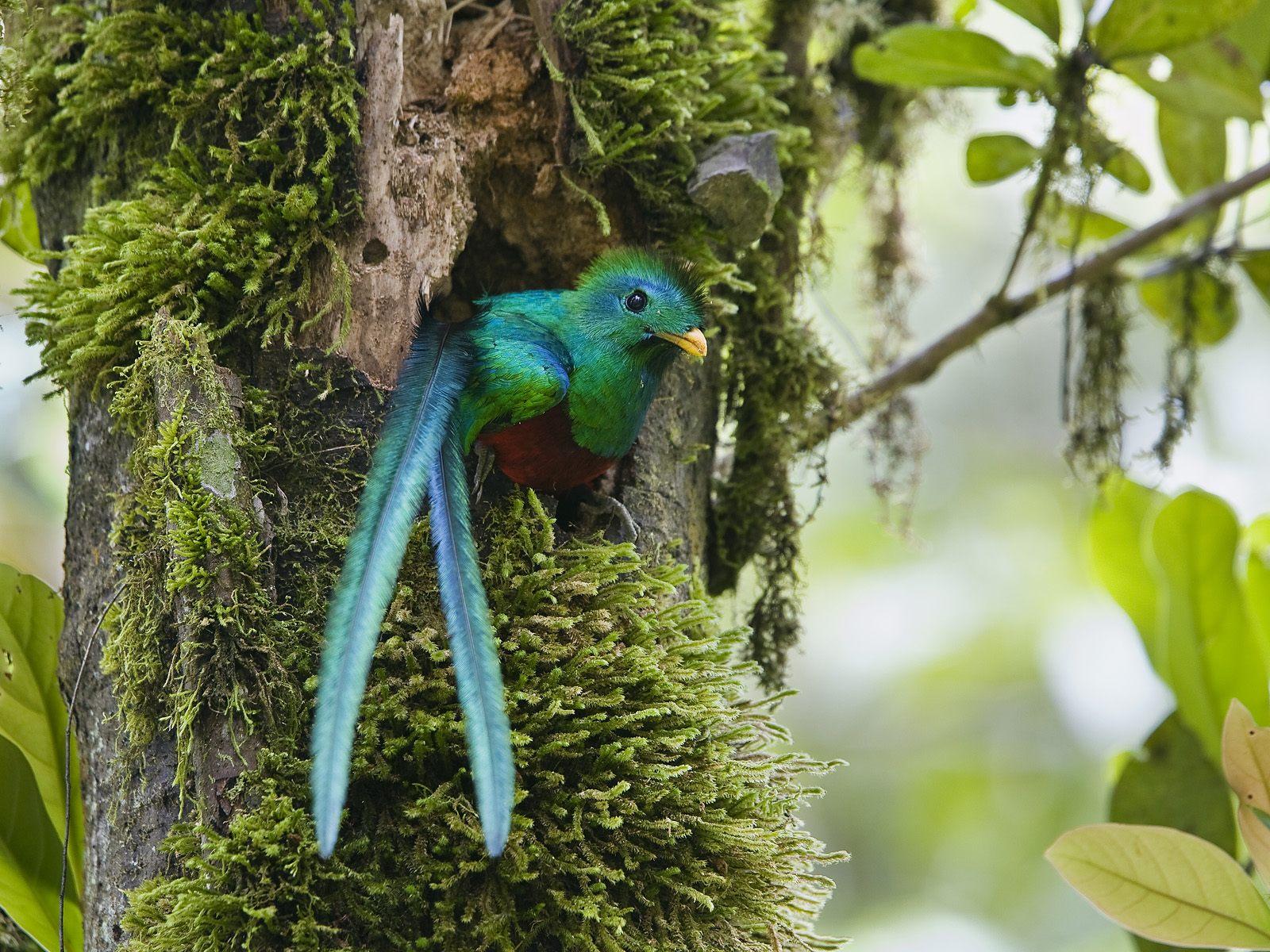 Guatemala wildlife - Respendent Quetzal