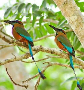 wildlife-guatemala-motmot2
