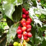 monteverde-coffee-tour-costa-rica