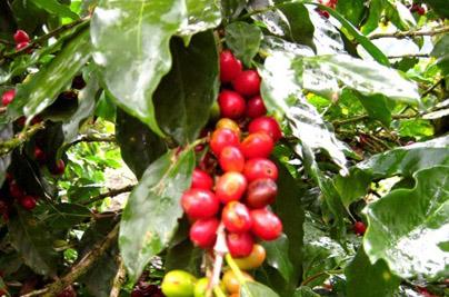 coffee tour in costa rica monte verde