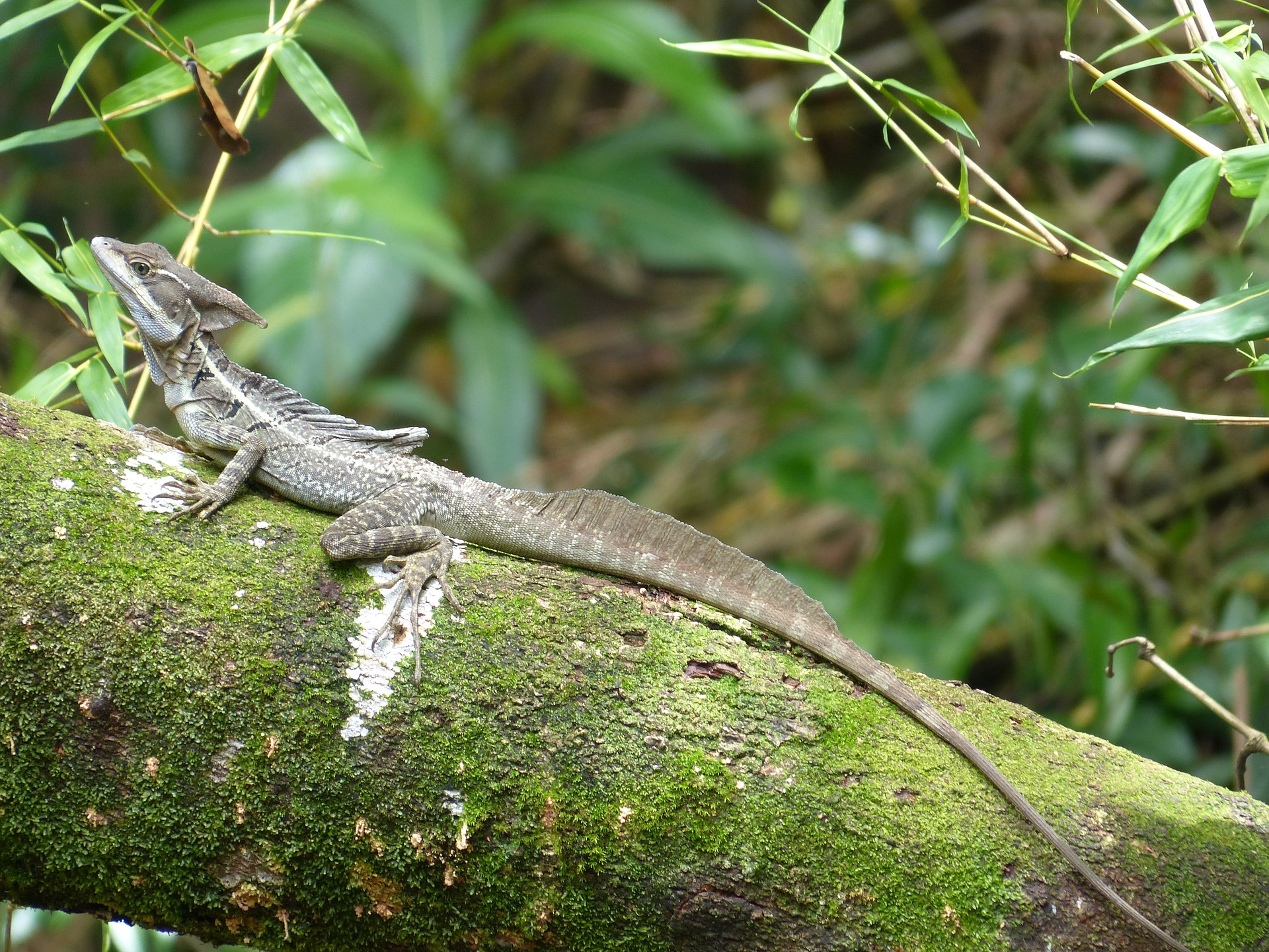 Guatemala wildlife - Brown Basilisk