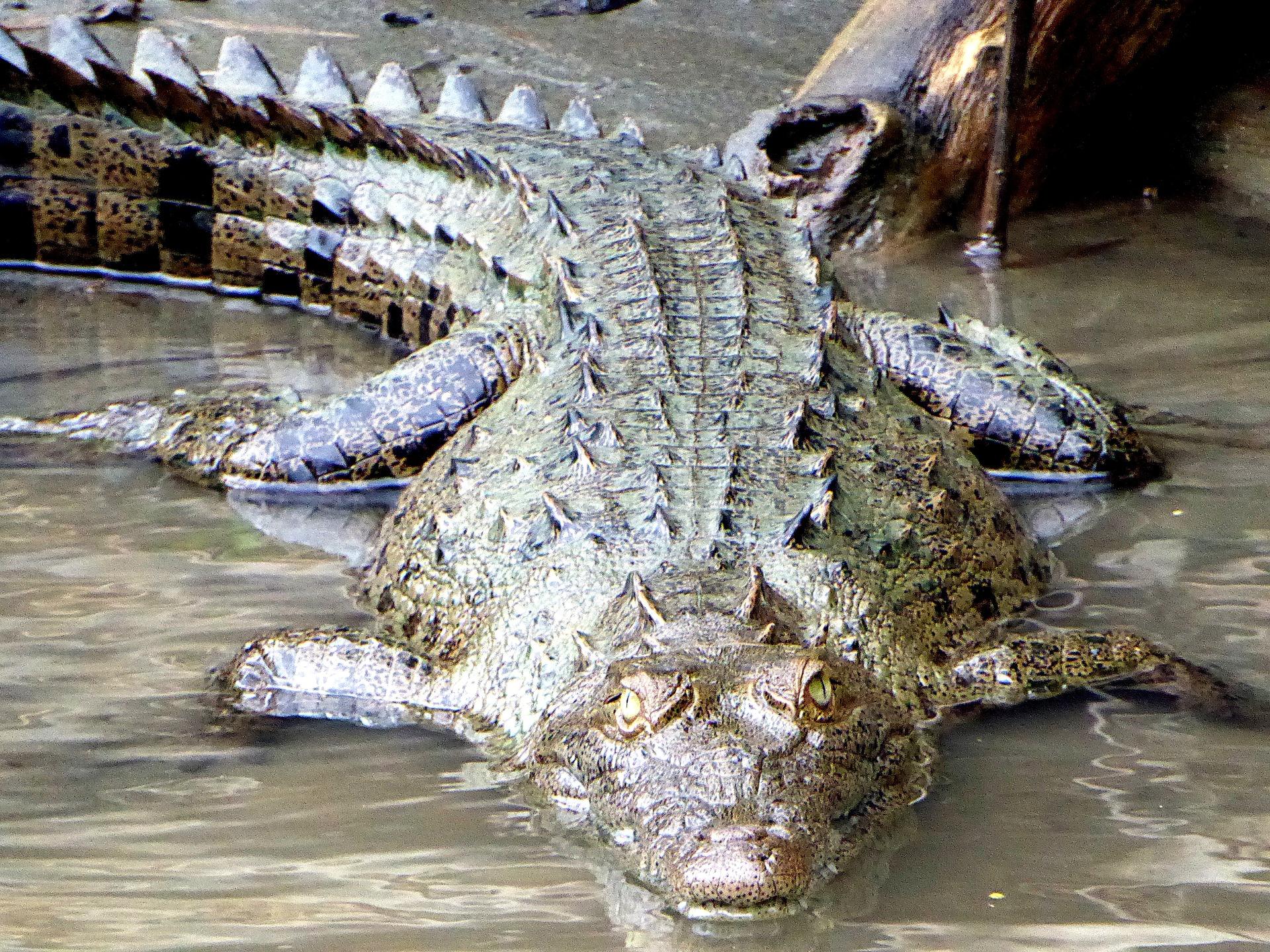 Guatemala wildlife - Caiman
