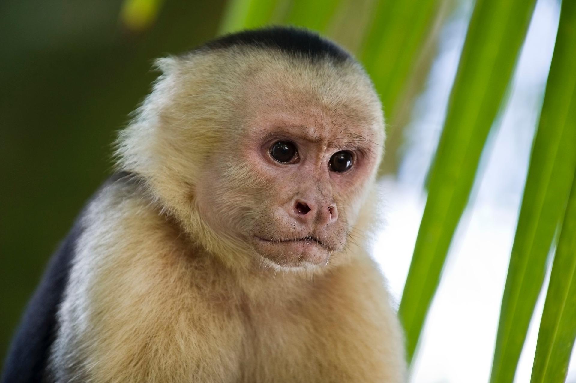 Guatemala wildlife - Capuchin monkey